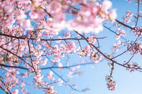 本物の桜の画像