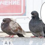 別れが寂しい鳩たち